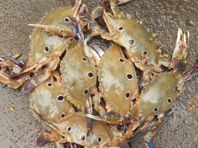 BCC-crabs